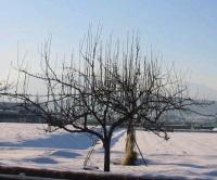 冬季のリンゴの木(長野県)